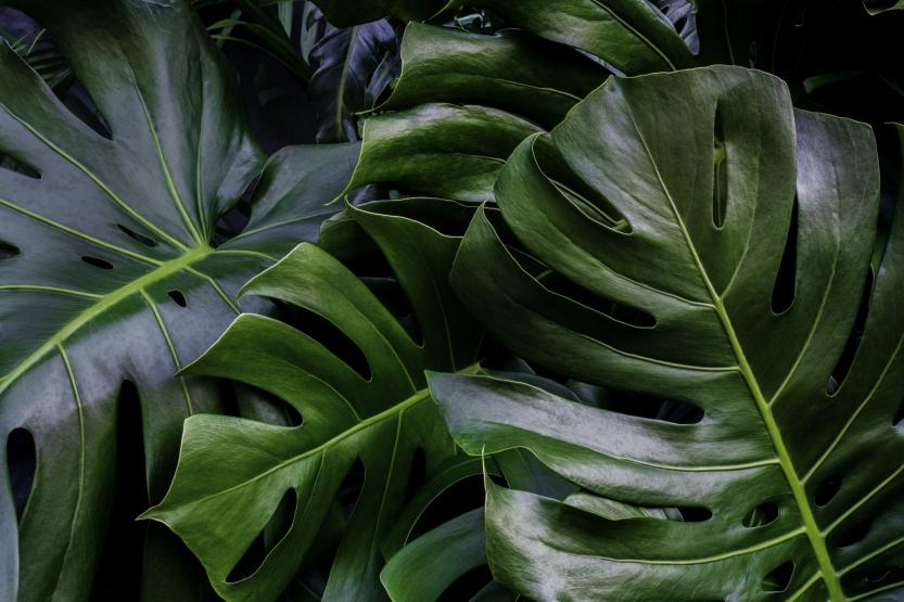 Monstera green leaves.
